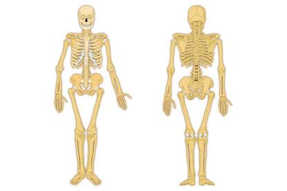 human skeleton front and back