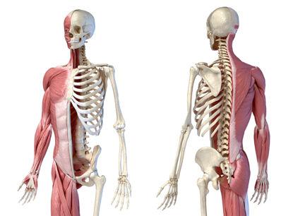 muscular and skeletal representation